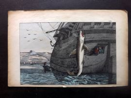 Adam White C1860 Hand Col Print. Great White Shark being Caught